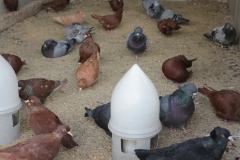pigeons-ferme-de-beaumont